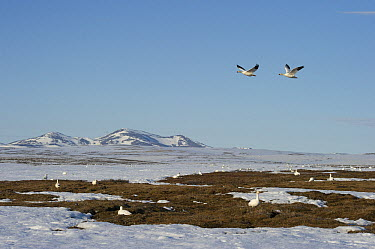 Snow Goose (Chen caerulescens) pair flying over flock on ground near snowy mountain range, Wrangel Island, Russia  -  Sergey Gorshkov