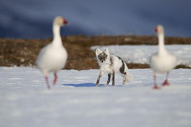 Arctic Fox (Alopex lagopus) following a pair of Snow Geese (Chen caerulescens), Wrangel Island, Russia  -  Sergey Gorshkov