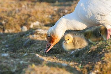Snow Goose (Chen caerulescens) mother tending to her chicks, Wrangel Island, Russia  -  Sergey Gorshkov
