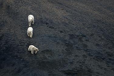 Polar Bear (Ursus maritimus) mother leading her cubs down a dark scree slope, Wrangel Island, Russia  -  Sergey Gorshkov
