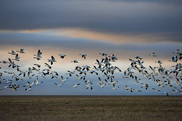 Snow Goose (Chen caerulescens) large flock flying over tundra, Wrangel Island, Russia  -  Sergey Gorshkov