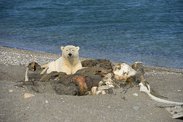 Polar Bear (Ursus maritimus) feeding on whale carcass on beach, Wrangel Island, Russia  -  Sergey Gorshkov