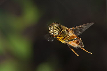 Band-eyed Drone Fly (Eristalinus taeniops) flying near Bulawayo, Zimbabwe  -  Michael Durham