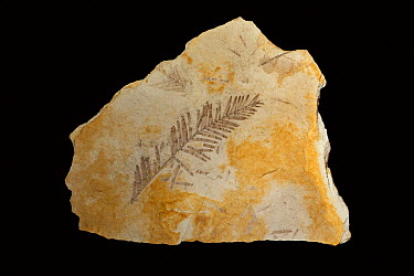 Metasequoia (Metasequoia sp) thirty-three million year old fossil needles, John Day Fossil Beds National Monument, Oregon  -  Michael Durham