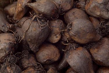 Small Camas (Camassia quamash) edible blubs, Weippe Prairie, Idaho  -  Michael Durham