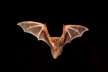Eastern Red Bat (Lasiurus borealis) female flying, Conasauga River, Chattahoochee-Oconee National Forest, Georgia  -  Michael Durham