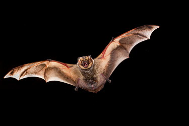 Hoary Bat (Lasiurus cinereus) male flying, Conasauga River, Chattahoochee-Oconee National Forest, Georgia  -  Michael Durham