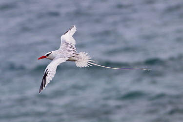 Red-billed Tropicbird (Phaethon aethereus) flying, Genovesa Island, Galapagos Islands, Ecuador  -  Michael Durham