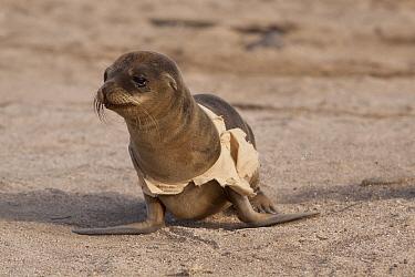 Galapagos Sea Lion (Zalophus wollebaeki) pup with garbage wrapped around itself, North Seymour Island, Galapagos Islands, Ecuador  -  Michael Durham