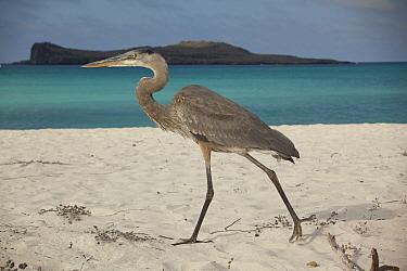 Great Blue Heron (Ardea herodias) on beach, Espanola Island, Galapagos Islands, Ecuador  -  Michael Durham