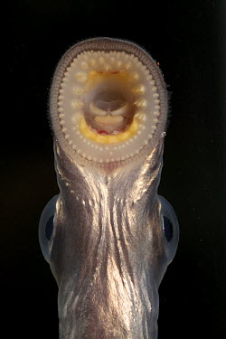 Pacific Lamprey (Petromyzon tridentatus) juvenile using sucker-like mouth parts to attach itself to glass of aquarium, Columbia River Research Laboratory, Willard, Washington  -  Michael Durham