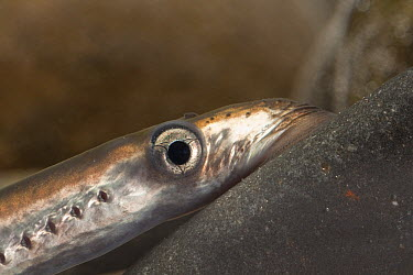 Pacific Lamprey (Petromyzon tridentatus) juvenile using sucker-like mouth parts to attach itself to rock, Columbia River Research Laboratory, Willard, Washington  -  Michael Durham