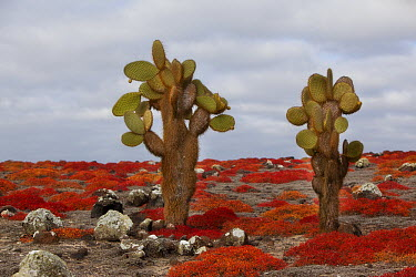 Opuntia (Opuntia echios) cacti surrounded by Sea-purslane (Sesuvium edmonstonei), South Plaza Island, Galapagos Islands, Ecuador  -  Michael Durham