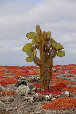 Opuntia (Opuntia echios) cactus surrounded by Sea-purslane (Sesuvium edmonstonei), South Plaza Island, Galapagos Islands, Ecuador  -  Michael Durham