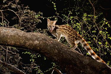 Panther Genet (Genetta maculata) climbing in tree at night, Matobo National Park, Zimbabwe  -  Michael Durham