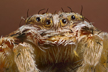 Spider close up of face showing multiple eyes and palps, western Oregon  -  Michael Durham