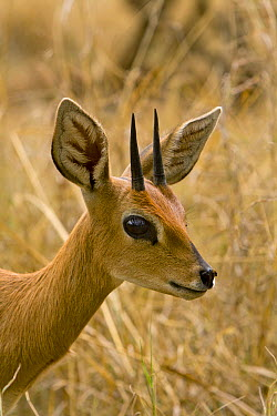 Steenbok (Raphicerus campestris) male, Chipangali Wildlife Orphanage, Bulawayo, Zimbabwe  -  Michael Durham