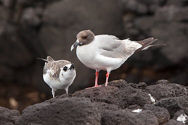 Swallow-tailed Gull (Creagrus furcatus) mother and begging chick, South Plaza Island, Galapagos Islands, Ecuador  -  Michael Durham