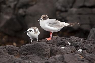 Swallow-tailed Gull (Creagrus furcatus) mother and chick, South Plaza Island, Galapagos Islands, Ecuador  -  Michael Durham