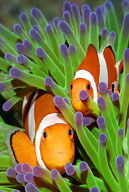 Clown Anemonefish (Amphiprion ocellaris) pair in sea anemone tentacles, Indonesia  -  Hans Leijnse/ NiS