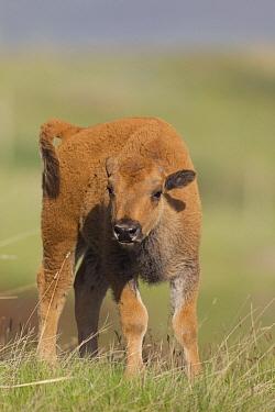 American Bison (Bison bison) calf, western Montana  -  Donald M. Jones