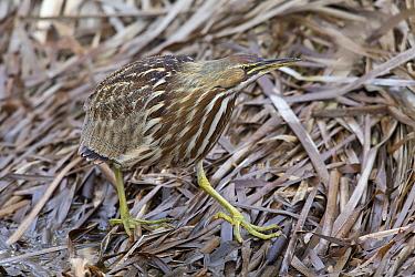 American Bittern (Botaurus lentiginosus) camouflaged on reeds, central Montana  -  Donald M. Jones