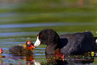 American Coot (Fulica americana) mother feeding chick, western Montana  -  Donald M. Jones