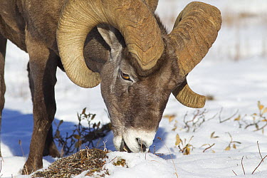 Bighorn Sheep (Ovis canadensis) ram grazing on plants in snow, northern Rocky Mountains, Canada  -  Donald M. Jones