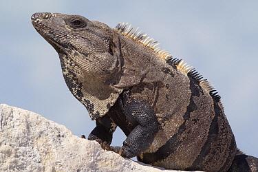 Black Spiny-tailed Iguana (Ctenosaura similis), Yucatan Peninsula, Mexico  -  Donald M. Jones