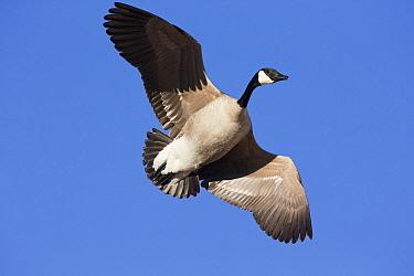 Canada Goose (Branta canadensis) flying, central Montana  -  Donald M. Jones