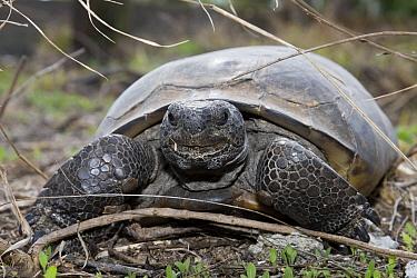 Florida Gopher Tortoise (Gopherus polyphemus), central Florida  -  Donald M. Jones