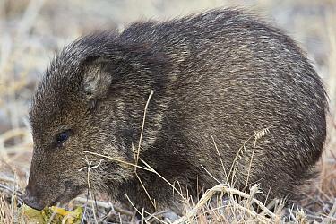 Collared Peccary (Pecari tajacu) juvenile, southern Arizona  -  Donald M. Jones