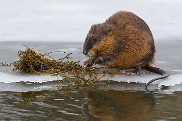 Muskrat (Ondatra zibethicus) feeding on plants on ice floe, western Montana  -  Donald M. Jones