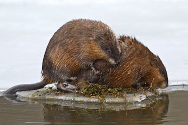 Muskrat (Ondatra zibethicus) pair mating on ice floe, western Montana  -  Donald M. Jones