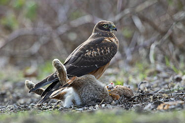 Northern Harrier (Circus cyaneus) female with Eastern Cottontail Rabbit (Sylvilagus floridanus) prey, central Montana  -  Donald M. Jones