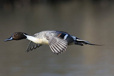 Northern Pintail (Anas acuta) drake flying, central Montana  -  Donald M. Jones