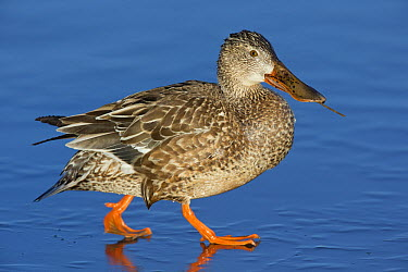 Northern Shoveler (Anas clypeata) female walking on ice, New Mexico  -  Donald M. Jones