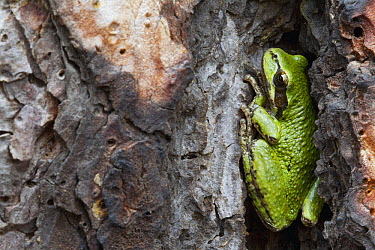 Pacific Tree Frog (Hyla regilla) hiding in Ponderosa Pine (Pinus ponderosa) tree bark, western Montana  -  Donald M. Jones