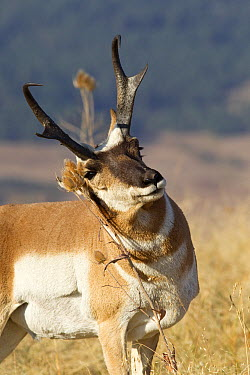 Pronghorn Antelope (Antilocapra americana) male rubbing teasel, western Montana  -  Donald M. Jones
