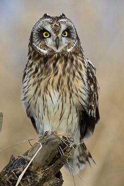 Short-eared Owl (Asio flammeus), western Montana  -  Donald M. Jones