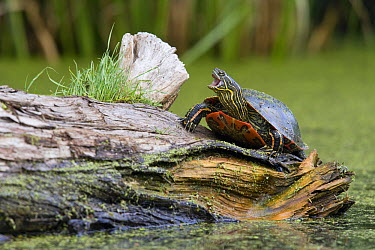 Painted Turtle (Chrysemys picta) on log in defensive posture, western Montana  -  Donald M. Jones