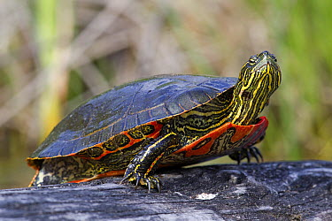 Painted Turtle (Chrysemys picta), western Montana  -  Donald M. Jones