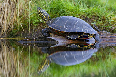 Painted Turtle (Chrysemys picta) on log, western Montana  -  Donald M. Jones
