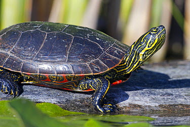 Painted Turtle (Chrysemys picta) basking, western Montana  -  Donald M. Jones