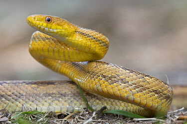 Yellow Rat Snake (Elaphe obsoleta quadrivittata) in defensive posture, Sarasota, Florida  -  Donald M. Jones