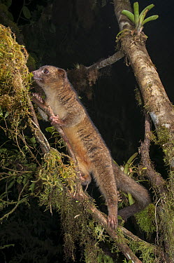 Olinguito (Bassaricyon neblina), the first new carnivore discovered in the Americas for 35 years, Bellavista Cloud Forest Reserve, Ecuador  -  Tui De Roy