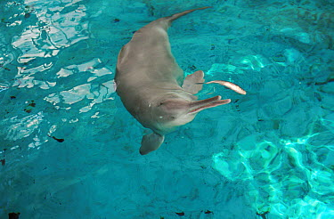Yangtze River Dolphin (Lipotes vexillifer) only captive specimen named Qi Qi being fed, China  -  Roland Seitre