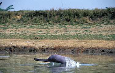 Ganges River Dolphin (Platanista gangetica) surfacing, China  -  Roland Seitre