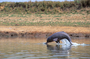 Ganges River Dolphin (Platanista gangetica) jumping, India  -  Roland Seitre