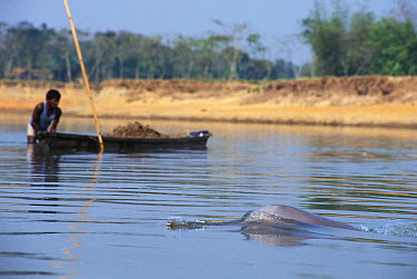 Ganges River Dolphin (Platanista gangetica) surfacing near boat, India  -  Roland Seitre